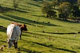 cowscape 1