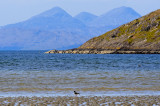 Jura and Oyster catcher