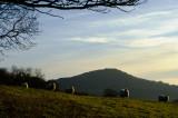 outfacing sheep
