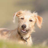 young lurcher looking cute