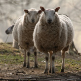 back to sheep