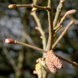 Hazel male flower & catkins (Corylus Avellana)