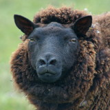 'Bloody funny sheep'