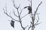 Northern Hawk-Owl (Hökuggla) Surnia ulula CP4P6403.jpg