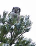 Northern Hawk-Owl (Hökuggla) Surnia ulula P1170647.jpg