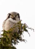 Northern Hawk-Owl (Hökuggla) Surnia ulula P1230717.jpg