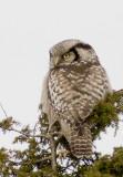 Northern Hawk-Owl (Hökuggla) Surnia ulula P1230678.jpg