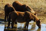 Chincoteague Pony Safari