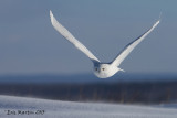 Harfang des Neiges Mâle / Snowy Owl Male   IMG_3500