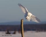 Harfang des Neiges Mâle / Snowy Owl Male  IMG_4144