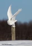 Harfang des Neiges Mâle / Snowy Owl Male         IMG_3598