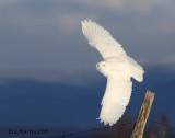 Harfang des Neiges Mâle / Snowy Owl Male        IMG_4533-1000