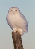 Harfang des Neiges Mâle / Snowy Owl Male    IMG_5559