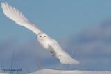 Harfang des Neiges Mâle / Snowy Owl Male    900.jpg