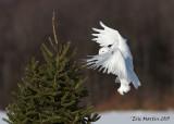 Harfang des Neiges Mâle / Snowy Owl Male  IMG_5159