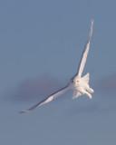 Harfang des Neiges Mâle / Snowy Owl Male  IMG_3890.jpg