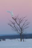 Harfang des Neiges Mâle / Snowy Owl Male