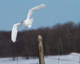 Harfang des Neiges Mâle / Snowy Owl Male IMG_3663.jpg