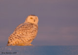 Harfang des Neiges / Snowy Owl   IMG_3277 1000sr.