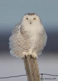 Harfang des Neiges / Snowy Owl    IMG_5169.jpg