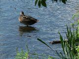 2006-08-08 Ducky