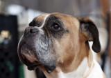 Jessie, my Boxer