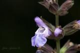 Marva flowers