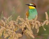 Europese Bijeneter - European Bee-eater - Merops apiaster