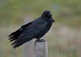Zwarte Kraai - Crow - Corvus corone