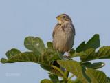 Grauwe Gors - Corn Bunting - Emberiza calandra