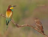 Europese Bijeneter - European Bee-eater - Merops apiaster - Rosse Waaierstaart - Rufous Bush Robin - Cercotrichas galactotes