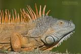 Groene Leguaan - Green Iguana - Iguana iguana