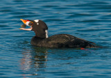 Mr surf scoter and clam