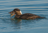Young male surf scoter with clam