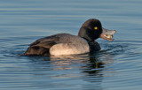 Lesser scaup eat cockle clam