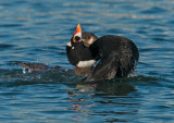 courting surf scoters