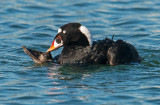 surf scoters mating
