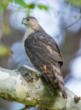 cooper's hawk female