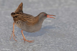 Waterrail / Waterral