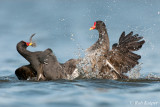 Common Moorhen / Waterhoen