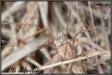 Opilio sp. probably Opilio canestrinii
