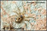 Oecobius maculatus