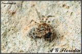 Oecobius sp.