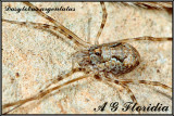 Dasylobus argentatus