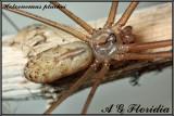 Holocnemus pluchei