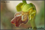 Ophrys fusca