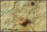 Opiliones - Unidentified sp.