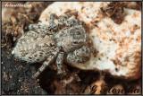 Aelurillus sp.