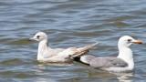 Mew Gull - California Gull