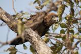 Bateleur - Terathopius ecaudatus